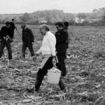 Tadeusz Przyślak i inni zbierają kukurydzę