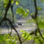 Dzienne spotkanie z dzikiem - autor PZ